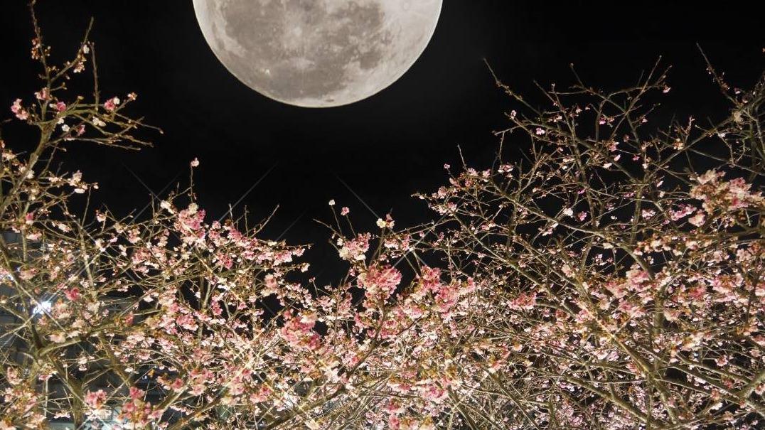 內湖樂活公園。台北賞櫻景點│粉嫩夜櫻即將盛開,漫步在浪漫小道,越夜越美麗