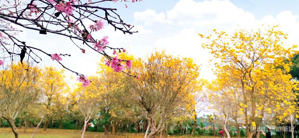 南投魚池。黃金風鈴木璀璨奪目│想看花不需要人擠人,南投一日遊記得順路來魚池賞花